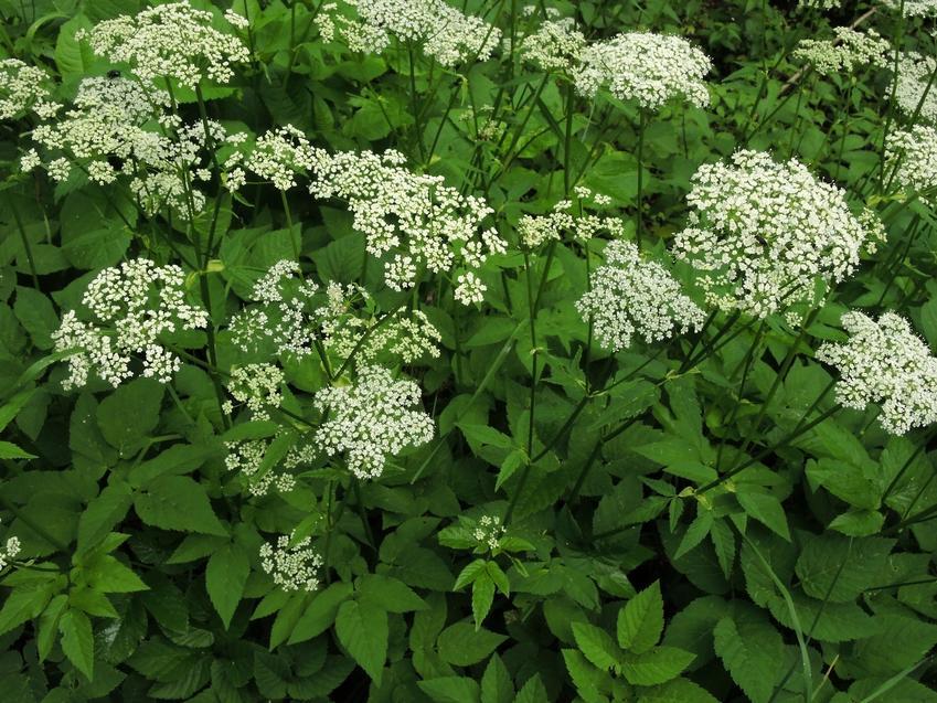 Podagrycznik pospolity w czasie kwitnienia oraz jego astosowanie i właściwości lecznicze
