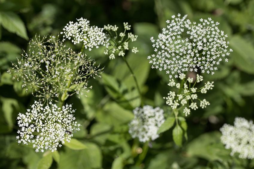 Podagrycznik pospolity i zbliżenie na kwiaty oraz jego astosowanie i właściwości lecznicze