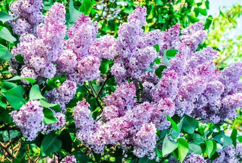 Lilak pospolity syringa vulgaris w czasie kwitnienia, czyli bez ogrodowy oraz jego uprawa i pielęgnacja
