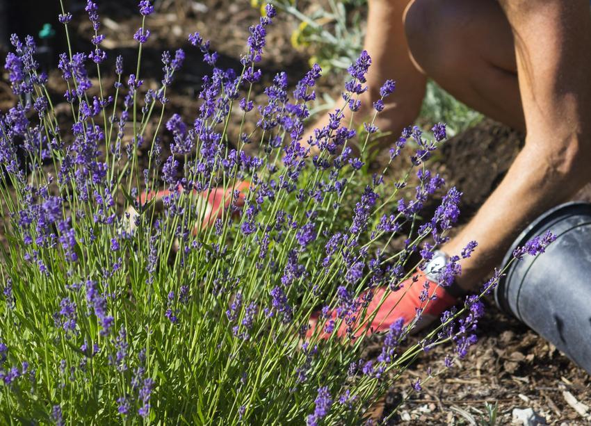 Kobieta sadząca lawendę w ogrodzie, a także ziemia do lawendy i jak hodować lawendę