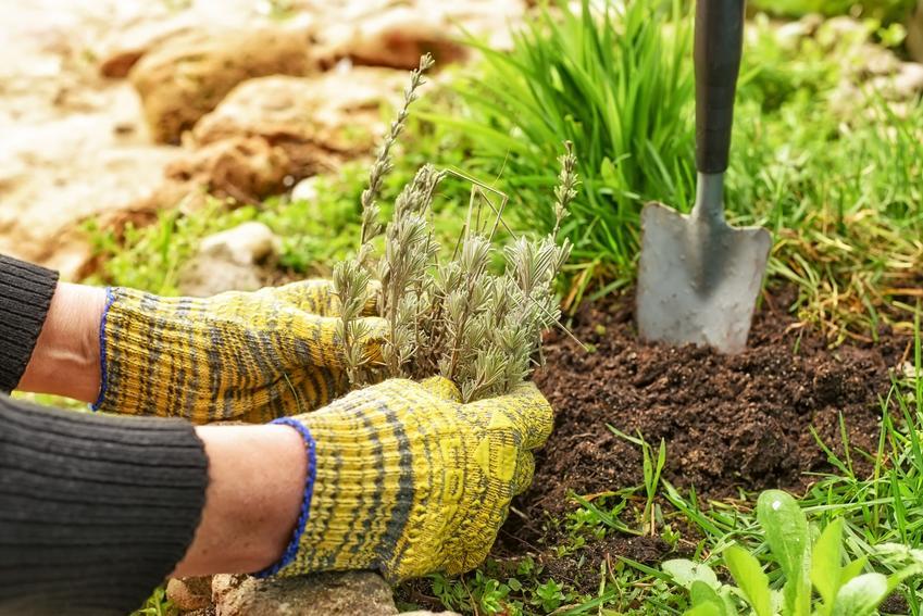 Sadzenie lawendy w ogrodzie oraz podłoże do lawendy i jej uprawa