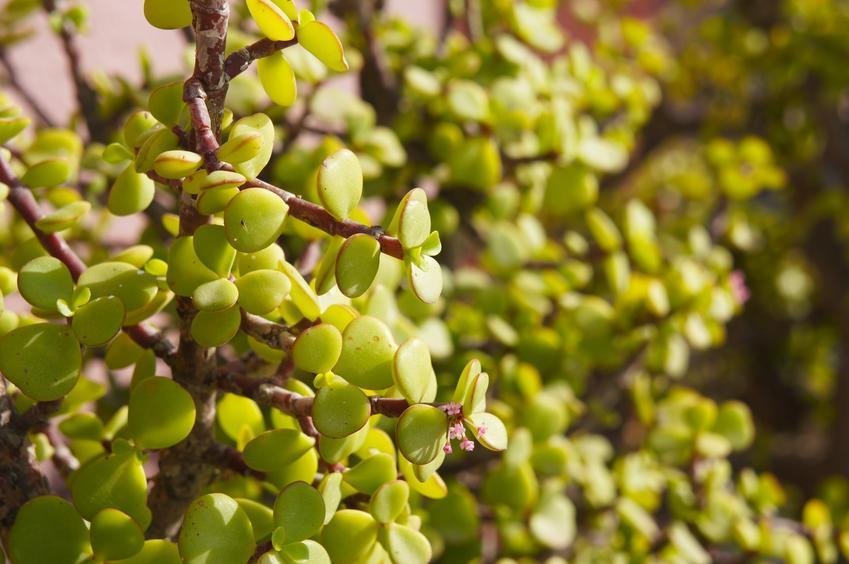 Portulacaria afra w uprawie, czyli domowe drzewko bonsai i portulacaria bonsai