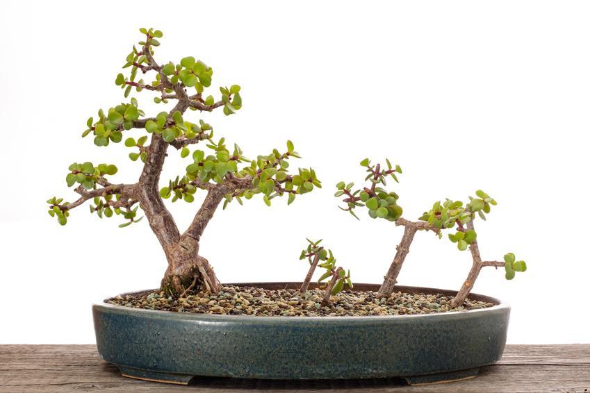 Portulacaria afra w doniczce uformowana na drzewko bonsai i jego pielęgnacja