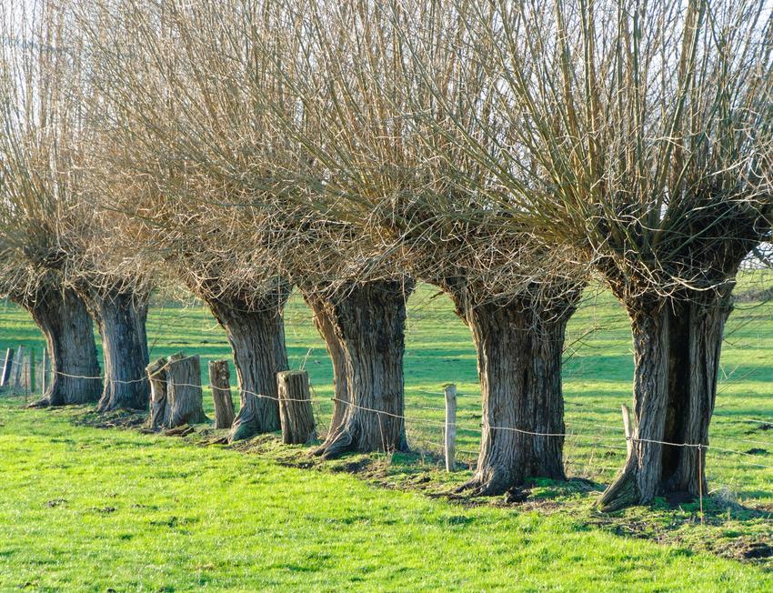 Uprawa wierzby energetycznej oraz sadzenie, cena sadzonki i wierzba wiciowa krok po kroku