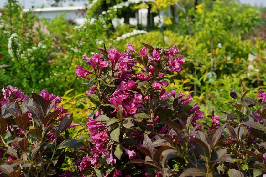 Krzewuszka w czasie kwitnienia w ogrodzie, a także cięcie krzewuszki i kiedy przycinać krzewuszkę
