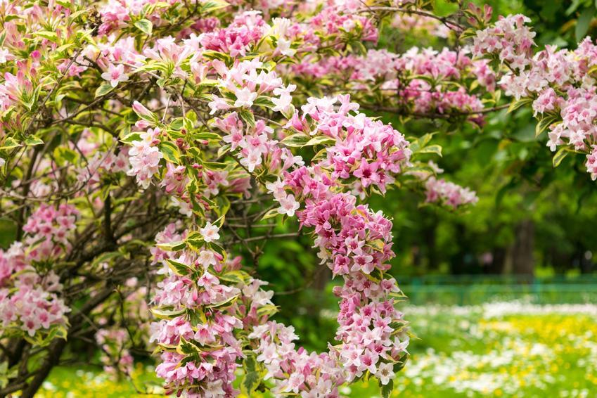 Krzewuszka cudowna w czasie kwitnienia w ogrodzie, a także jej uprawa i pielęgnacja