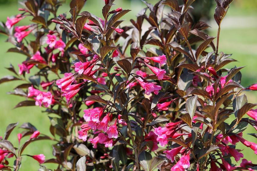 Krzewuszka różowa w czasie kwitnienia w ogrodzie, a także jej uprawa i pielęgnacja