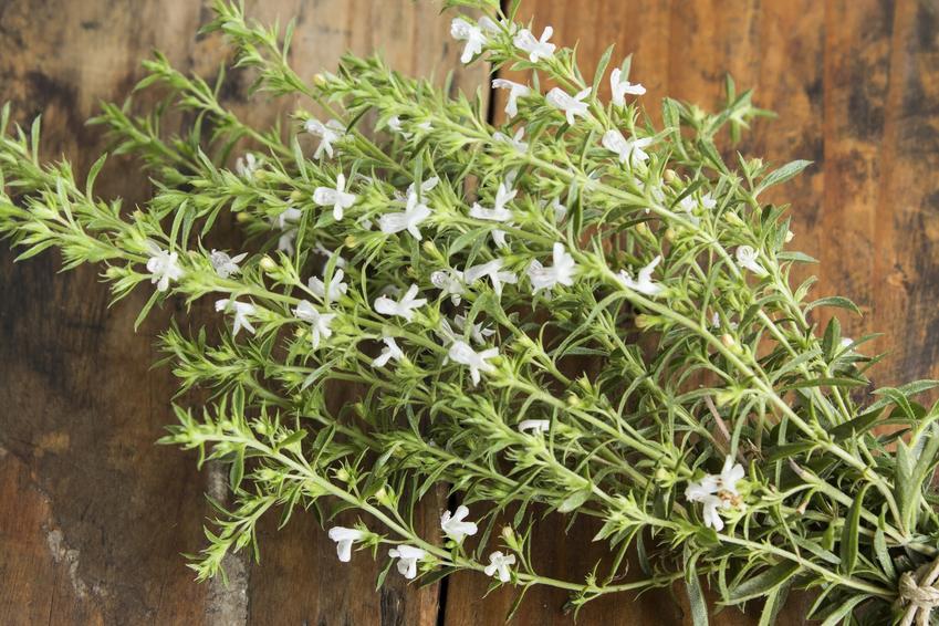 Cięty cząber leżący na stole, czyli zioła i przyprawa, a także jej zastosowanie w kuchni