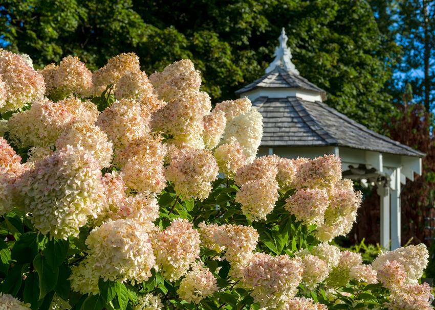 Hortensja grandiflora w czasie kwitnienia w ogrodzie, a także jej uprawa i pielęgnacja