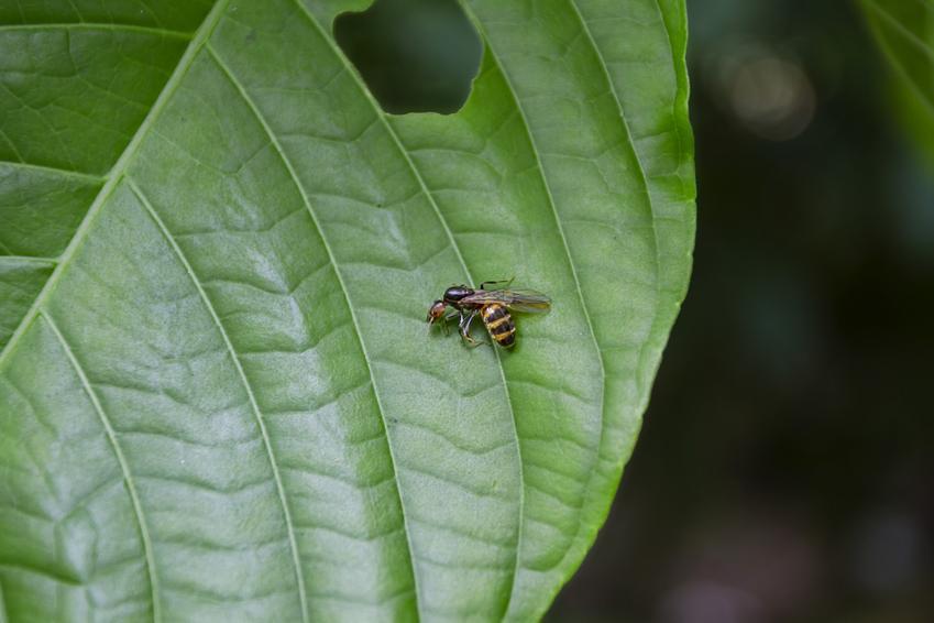 Gliniarz naścienny siedzący na zielonym liściu, czyli owad podobny do szerszenia