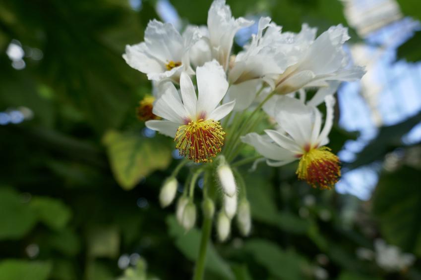 Lipka pokojowa w czasie kwitnienia, a także jej sadzenie, uprawa i pielęgnacja