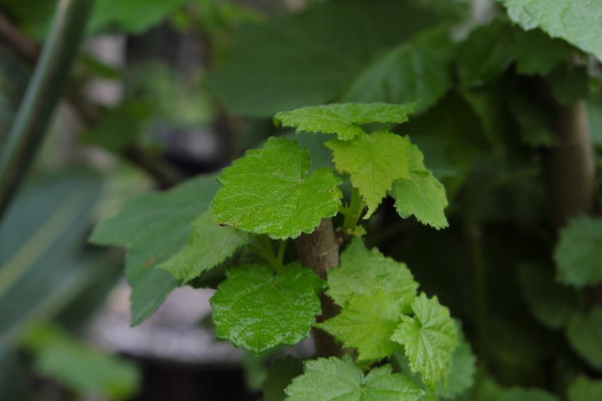 Lipka pokojowa jako kwiat doniczkowy, a także sadzenie, uprawa i pielęgnacja lipki afrykańskiej