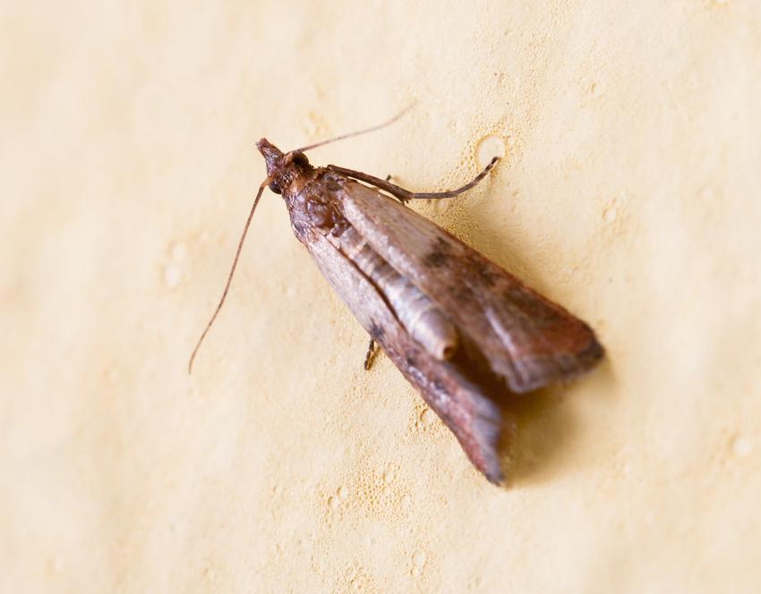 Mklik mączny czy też motyl mączny i jego zwalczanie oraz jak się pozbyć mklika