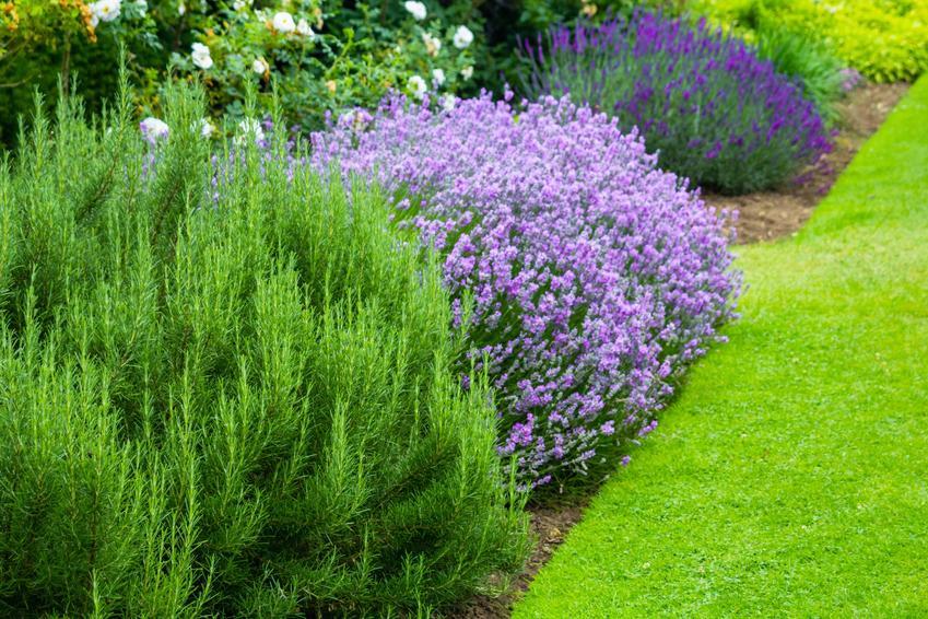 Lawenda w ogrodzie na tle zieleni, a także uprawa lawendy krok po kroku