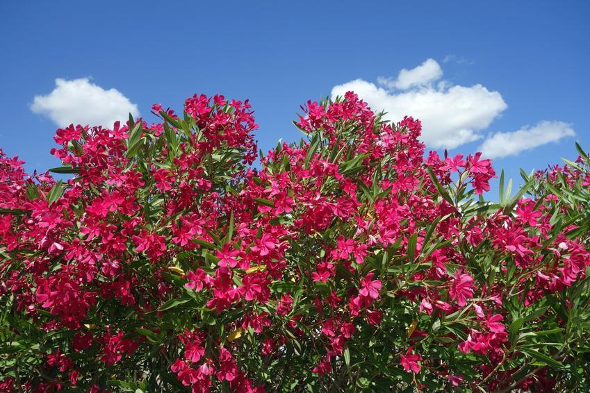 Różowy oleander na tle niebieskiego nieba, a także przycinanie oleandra i jego pielęgnacja