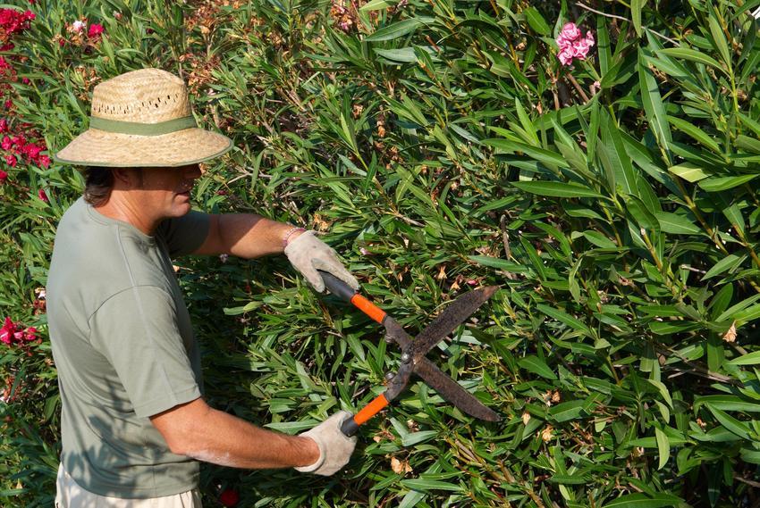 Przycinanie oleandra w ogrodzie przez mężczyznę oraz pielęgnacja i sadzenie oleandra
