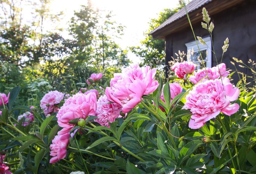 Piwonia ogrodowa różowa w ogrodzie w czasie kwitnienia oraz uprawa piwonii i pielęgnacja piwonii