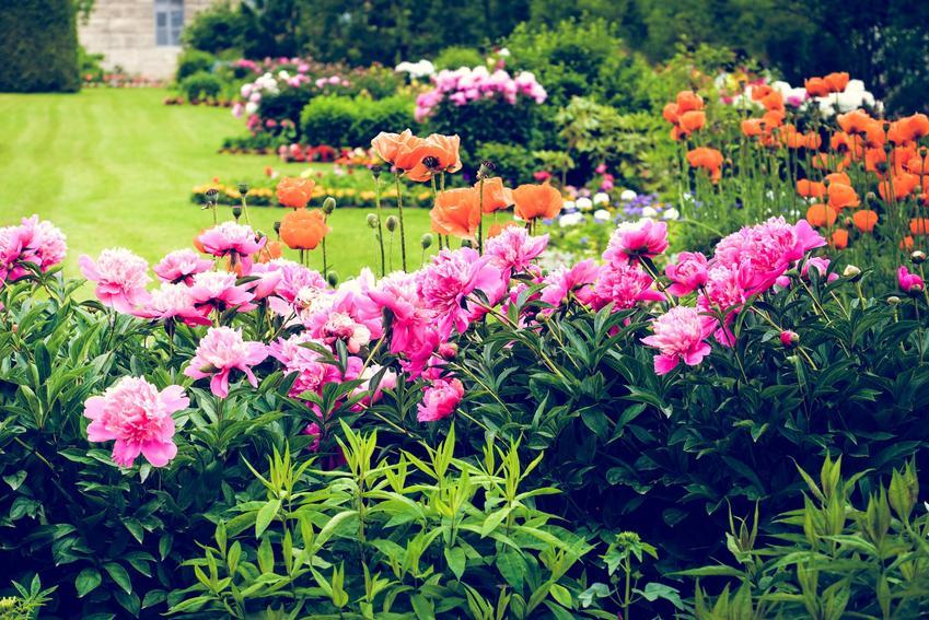 Piwonia ogrodowa w czasie kwitnienia w ogrodzie, a także uprawa piwonii i pielęgnacja piwonii