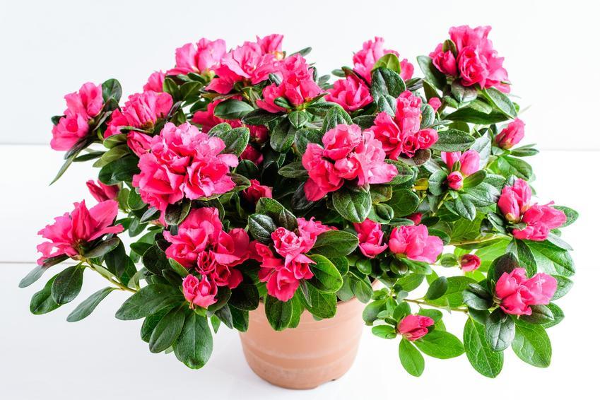 Różowy rododendren w doniczy, a także uprawa rododendronów w donicach krok po kroku
