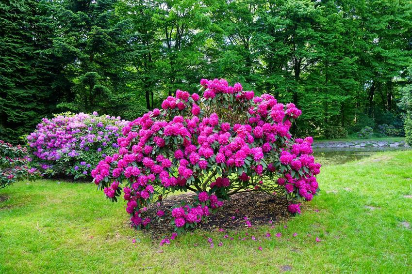 Różowy rododendron kwitnący w ogrodzie, a także informacje jak długo kwitnie rododendron