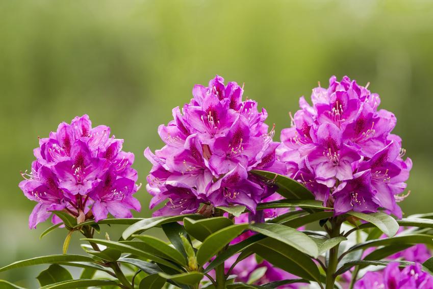 Zbliżenie na różowe kwiaty rododendrona w ogrodzie, a także kwitnienie rododendrona krok po kroku