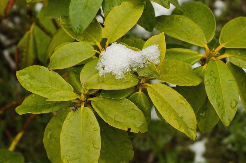 Liście rododendrona osypane śniegiem, a także rododendron na zimę i jego pielęgnacja