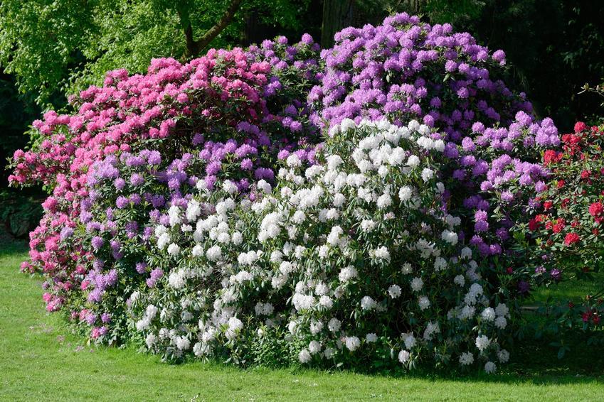 Rododendrony w czasie kwitnienia w ogrodzie, a także sadzenie rododendronów krok po kroku