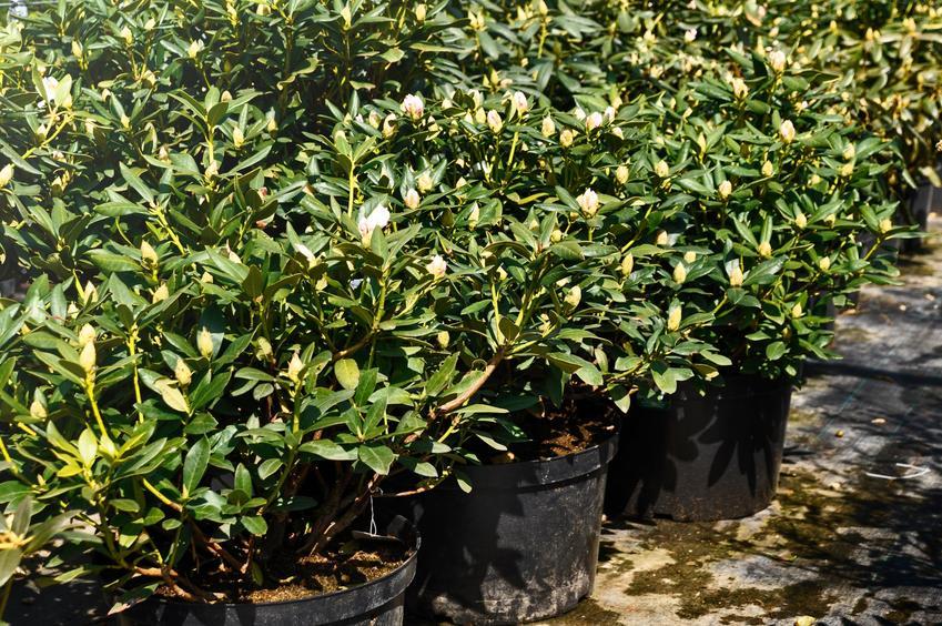 Rododendron w doniczkach przed sadzeniem, a także sadzenie rododendronów krok po kroku