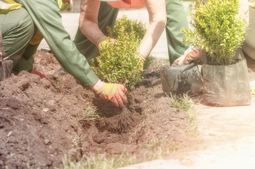 Bukszpan podczas sadzenia, czyli sadzonki bukszpanu, a także jego uprawa i pielęgnacja
