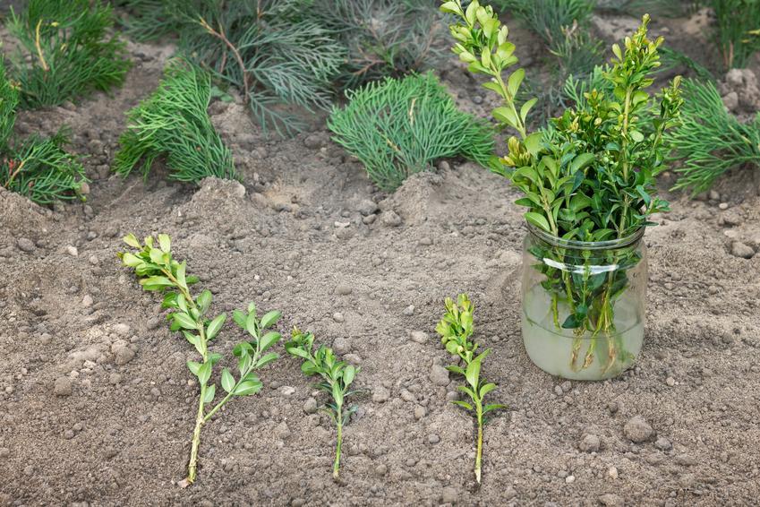 Sadzonki bukszpanu w słoiku i na ziemi, a także sadzenie i uprawa bukszpanu