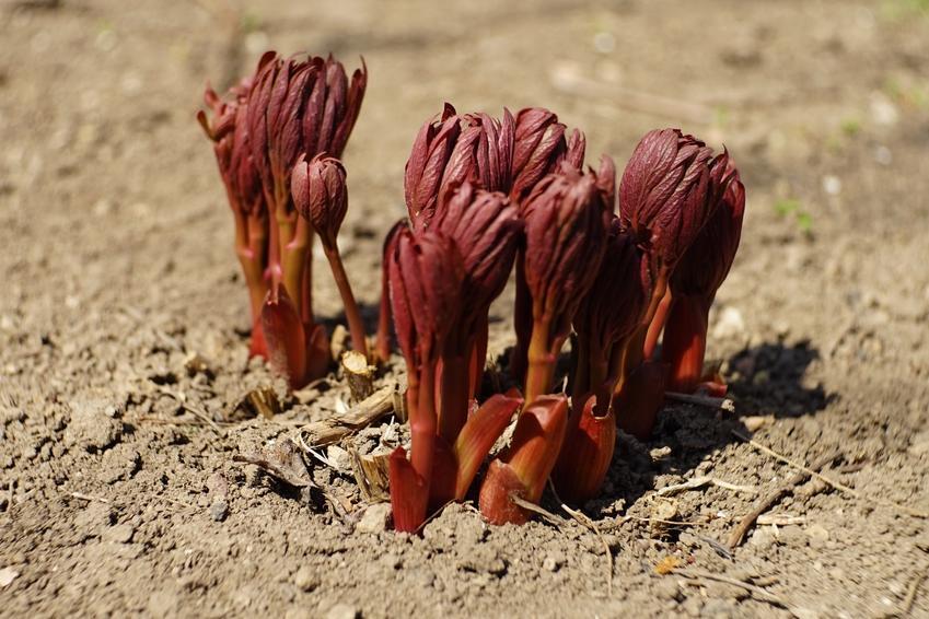 Sadzonki piwonii posadzone w ziemi, a także uprawa i pielęgnacja piwonii