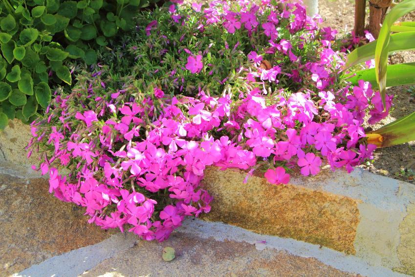 Floksy w czasie kwitnienia w ogrodzie, a także sadzonki floksów, uprawa i pielęgnacja