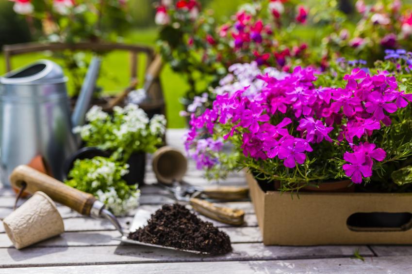 Floksy podczas sadzenia w ogrodzie, a także sadzonki floksów i ich uprawa