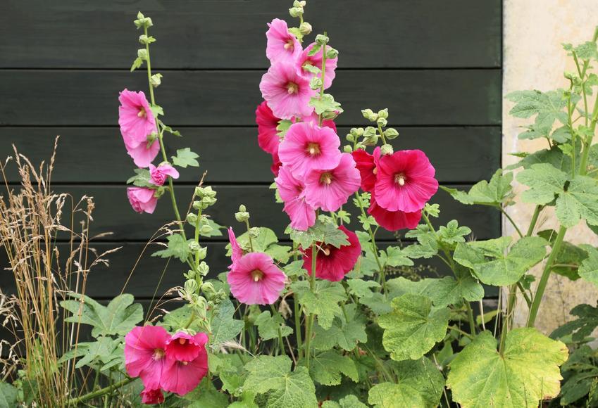 Malwa ogrodowa przed domem w czasie kwitnienia, a także jak wybrać sadzonki malwy