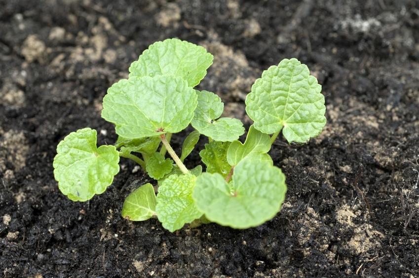 Sadzonki malwy po wysadzeniu do gruntu, a także malwa ogrodowa i jej uprawa
