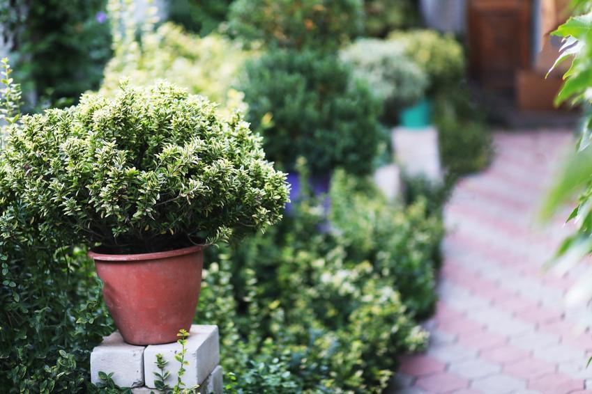 Bukszpan w donicy na tle innych roślin, a także uprawa na tarasie, na balkonie czy w domu