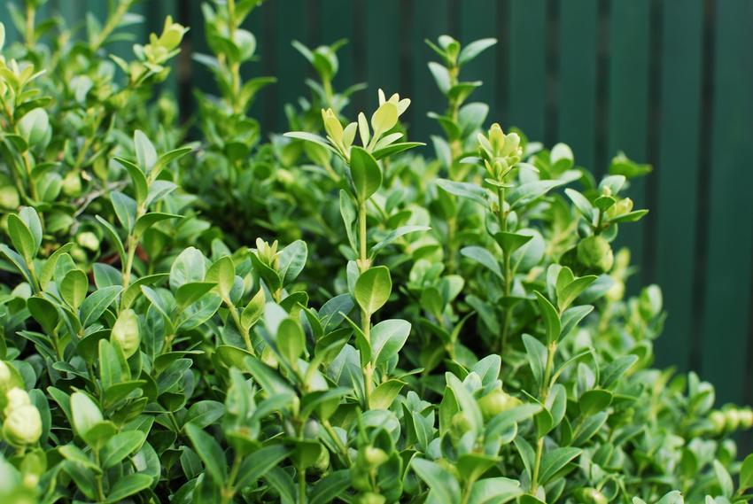 Zielony bukszpan w ogrodzie oraz rozmnażanie bukszpanu i porady, jak rozmnożyć bukszpan