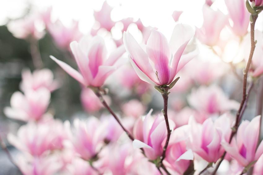Magnolia w ogrodzie w czasie kwitnienia, a także popularne i ciekawe odmiany magnolii