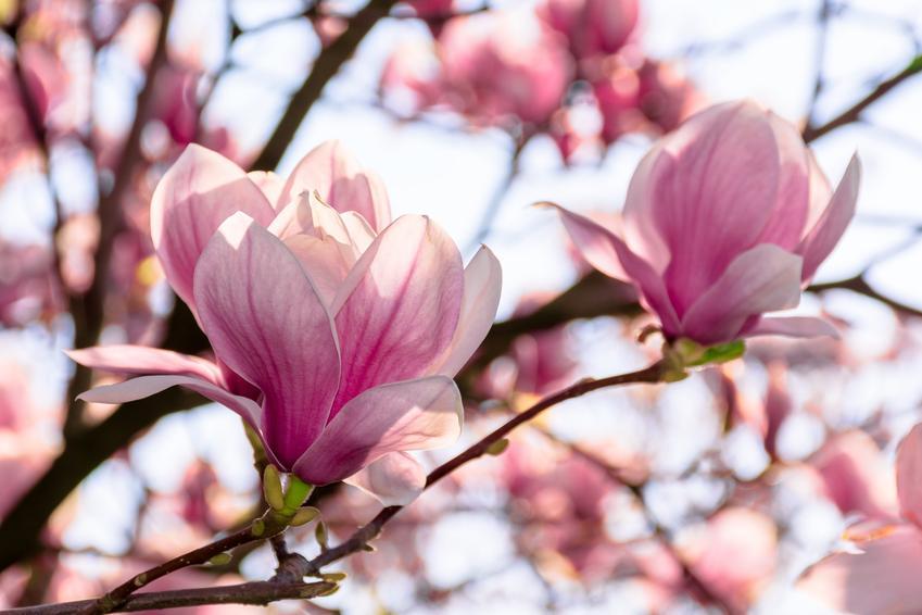 Magnolia w czasie kwitnienia w ogrodzie, a także odmiany magnolii i krzew magnolii
