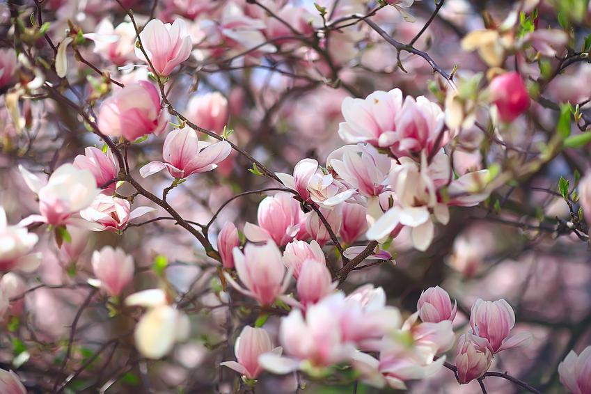 Magnolia w czasie kwitnienia w ogrodzie, a także cena magnolii krok po kroku