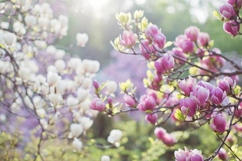 Krzew magnolia w czasie kwitnienia w ogrodzie, a także uprawa i pielęgnacja
