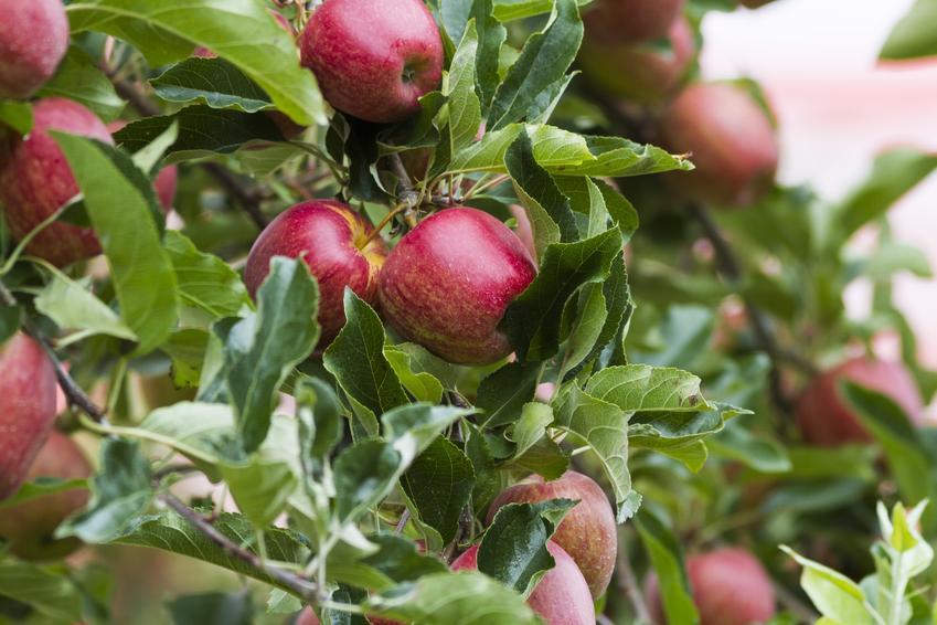 Jabłoń gala i dojrzałe owoce na jabłoni gala, a także jej uprawa i pielęgnacja