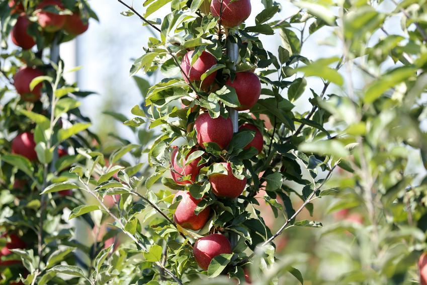 Jabłoń gala w ogrodzie z dojrzałymi owocami, a także jej uprawa i pielęgnacja