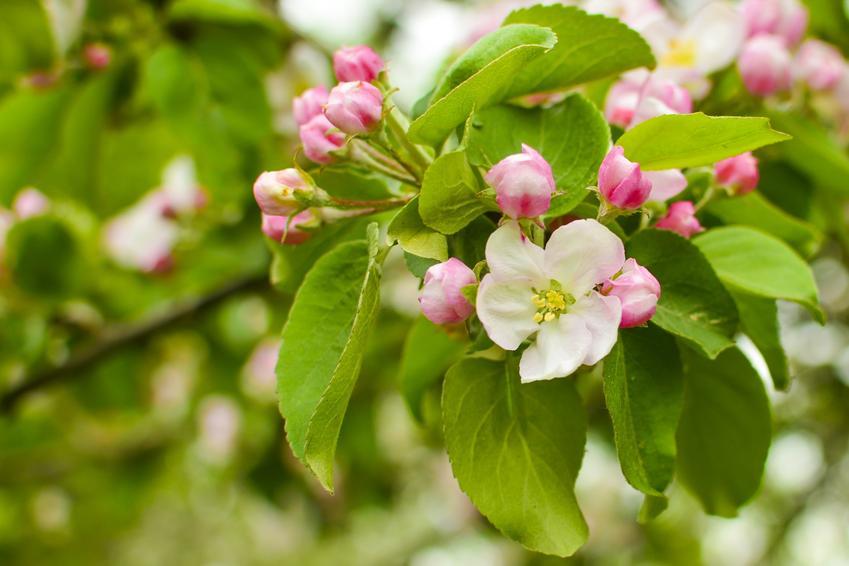 Jabłoń malinówka kwitnąca w ogrodzie, a także jabłka malinówki i ich uprawa