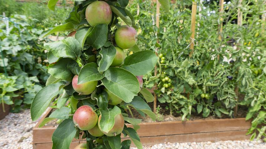 Jabłoń kolumnowa z owocami w ogrodzie, a także odmiany jabłoni kolumnowej i jej uprawa