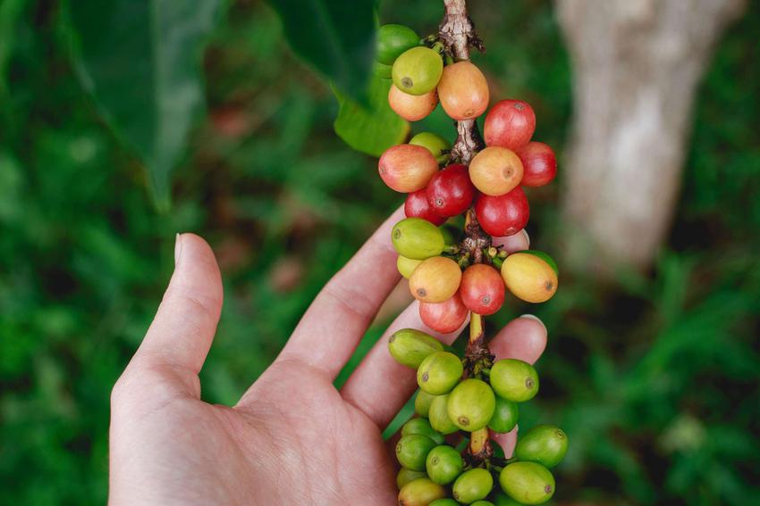 Arabika: skład, pochodzenie, odmiany, uprawa