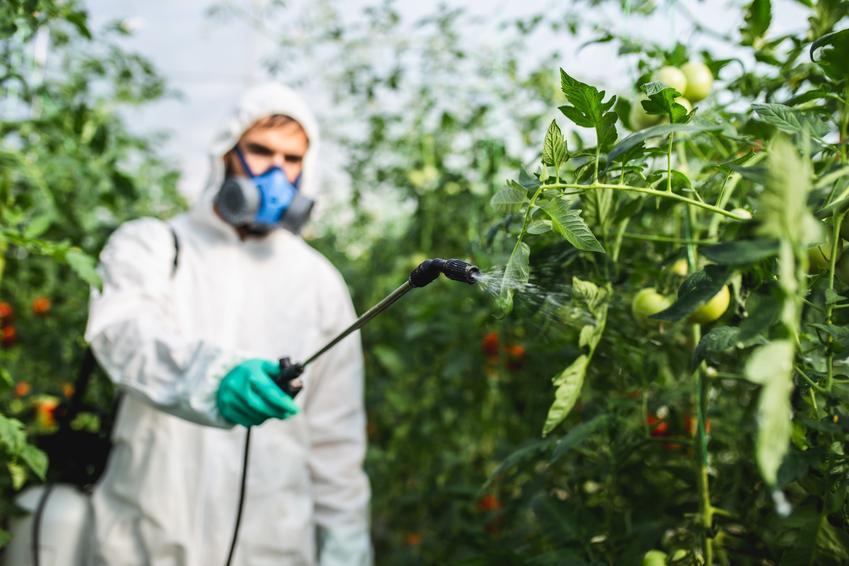 Mężczyzna podczas opryskiwania pomidorów, czyli oprysk pomidorów, opryskiwanie pomidorów miedzianem