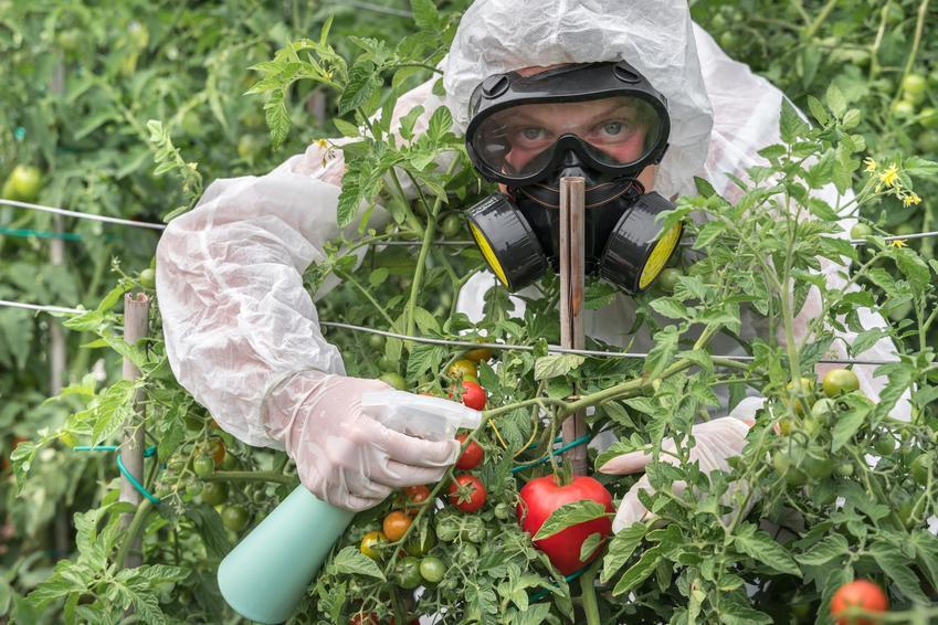 Opryskiwanie pomidorów miedzianem w ogrodzie, a także oprysk pomidorów krok po kroku