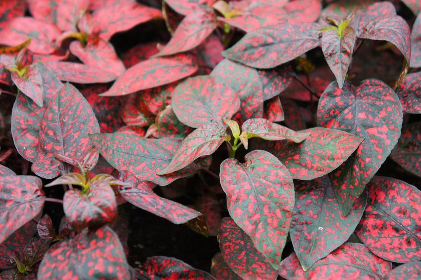 Czerwone liście niepośpianu, a także uprawa i pielęgnacja hypoestes phyllostachya w ogrodzie