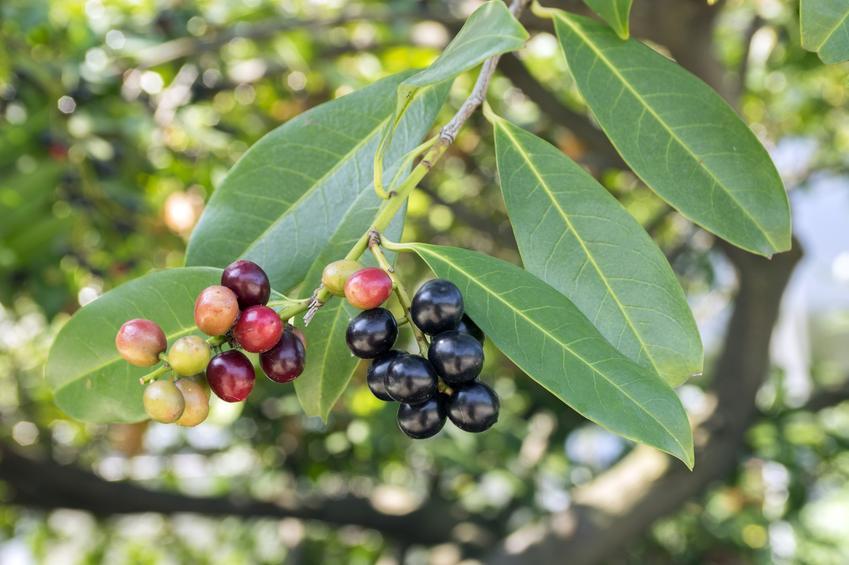 Laurowiśnia wschodnia, prunus laurocerasus w czasie owocowania, a także jej uprawa i pielęgnacja
